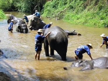 Le bain des éléphants au camp de Mae Sa