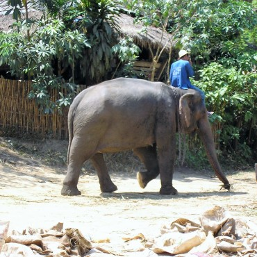 mae-sa-elephant-camp-thaietvous-com (3)
