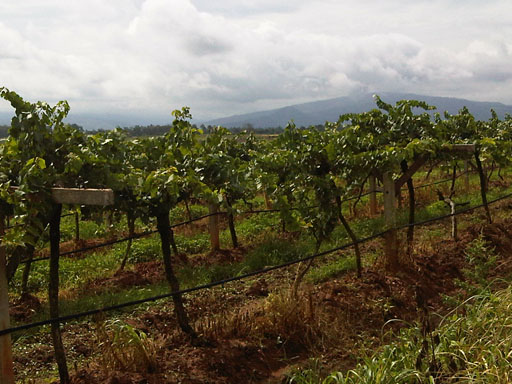 chateau de loei vineyard
