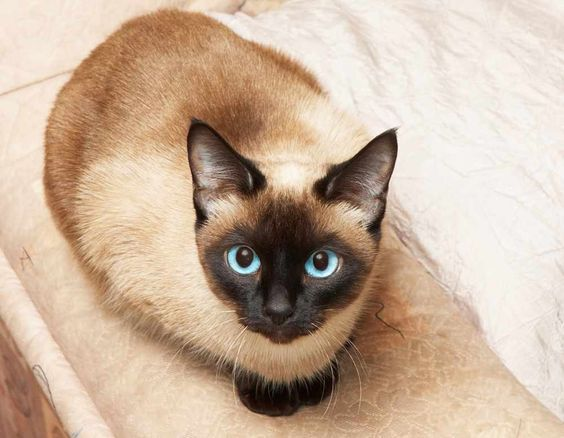 siamese cat on the background of analogous color.
