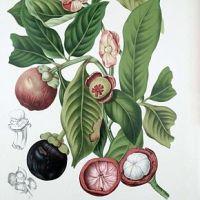 Mangoustan, roi des fruits, fruit des rois